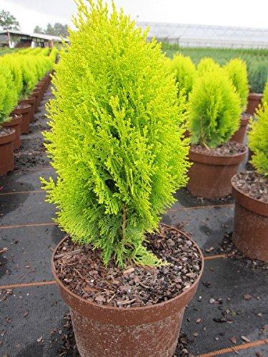 thuja-occidentalis-sunkist-gelber-lebensbaum-sunkist