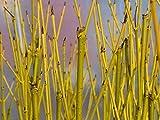 5 Green Dogwood 2-3ft Hedging Plants, Stunning Cornus Stolonifera 'Flavirimea'