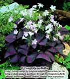 Oxalis Triangularis (Purple Shamrock) - 25 robust bulbs - #1 Tubers