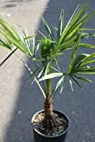 Trachycarpus fortunei Chusan Palm 100cm