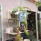 食虫植物:ウツボカズラ(ネペンテス)*【4号(小サイズ)・吊り鉢】