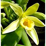 3 Vanilla planifolia Cuttings orchid vine Live rare tropical bean pod plant