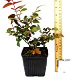 """Baby Paradise Pink Sunblaze Rose Reblooming - Great Container Rose * Miniature Rose Bush * Grown Organic 4"""" Container Potted"""