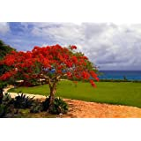 Flamboyant Tree 15 Seeds (Delonix regia) Beautiful Flowering Tree
