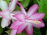 Hirt's Lavender Christmas Cactus Plant - Zygocactus - 2.5