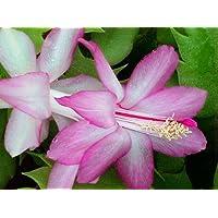 Hirt's Lavender Christmas Cactus Plant-Zygocactus - 4
