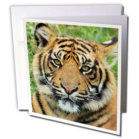3Drose Set Of 12 Greeting Cards, Print Of African Tiger Cub Up Close (Gc_182510_2) front-64957