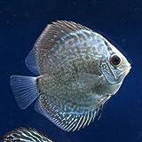 (熱帯魚)ブルースネークスキン・ディスカス(Sサイズ)(1匹) 本州・四国限定[生体]