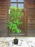 クスノキ 樹高80cm 庭木に最適です!常緑樹