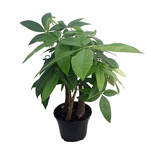 stylized-money-tree-plant-pachira-aquatica-6-pot-easy-to-grow-house-plant-by-hirts-gardens