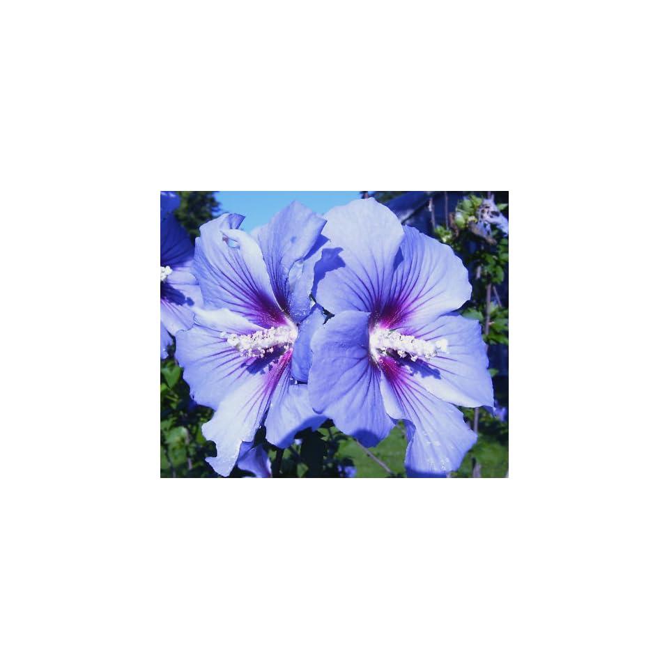 Blue Birdrose Of Sharonhardy Hibiscus3 Seeds Patio On Popscreen