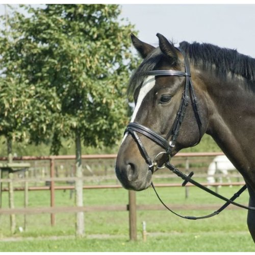BUSSE Trense IDEAL, Pony, schwarz/gold