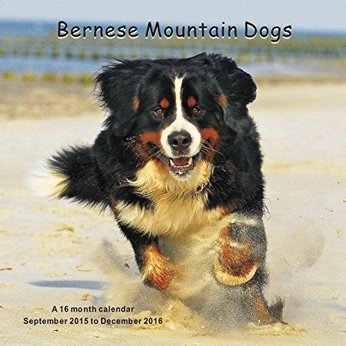Bernese Mountain Dogs Calendario Calendar 2016