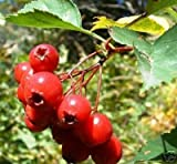 10 Hawthorn Berry Tree Seeds Crataegus Laevigata