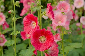 Hollyhock, Chater's Double Mix - Perennial Seeds