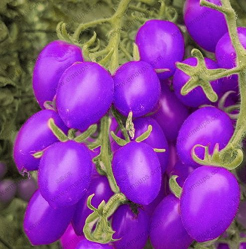 A Pack 100 Pcs Purple Cherry Tomatoes Seed Balcony Fruits Seed Vegetables Potted Bonsai Potted Plant Tomato Seeds (Purple Fruit Seeds compare prices)