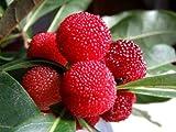 【6か月枯れ保証】【春・夏に収穫する果樹】ヤマモモ/秀光 15cmポット