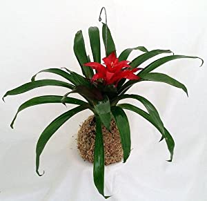 Amazon.com: 'Vase Plant' Hanging Root Orb - Easy to Grow, Exotic ...