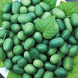 【PLANT】Heirloom Cucumber Mexican Sour Gherkin エアルーム・キューカンバー・メキシカン・サワー・ガーキン(4苗)*予約商品 ◆自社にて播種した種子からの自根苗です。◆お届け予定時期:5月GW明け〜中旬頃。*ベジタブルプランツ(トマト苗は除く)は6セットまでは100cmサイズ1小口で同梱出来ます。