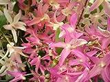 1 blühfähige Orchidee der Sorte: Dendrobium nobile Nikkou