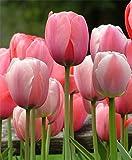 TULIP BULBS - 12 Pink Impression Darwin Tulip - Bulb Size 11/12 cm - FALL PLANTING & SPRING BLOOMS