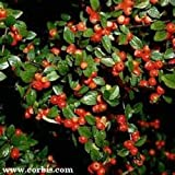 ROCKSPRAY COTONEASTER - COTONEASTER HORIZONTALIS - GREAT GARDEN OR BONSAI - 10 SEEDS