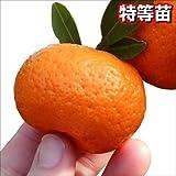 国華園 果樹苗 カンキツ 小みかん 特等苗 1株