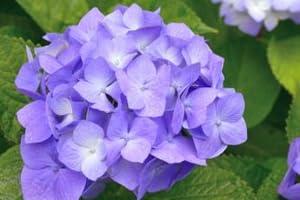 【6か月枯れ保証】【春に花が咲く木】アジサイ 0.2m 【即日発送対応】