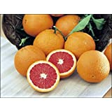 Dwarf Red Navel Orange Tree - 8