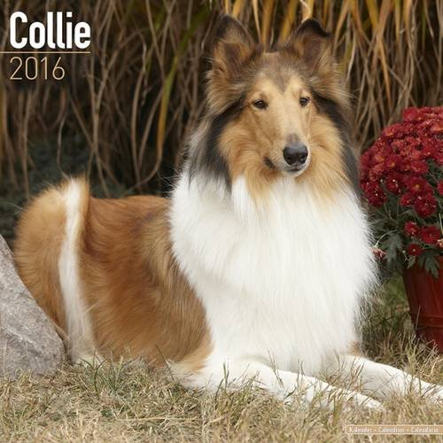 Collie Calendar - Breed Specific Collie Calendar - 2016 Wall calendars - Dog Calendars - Monthly Wall Calendar by Avonside