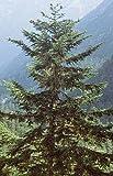 Weißtanne ** Abies alba ** (50 Stück Weißtanne 5j. 2+3 20-40 cm, 82701 Nordseeküste,Rheinisch-Westfäl.Bucht)