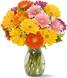 Gerbera Daisies without Vase