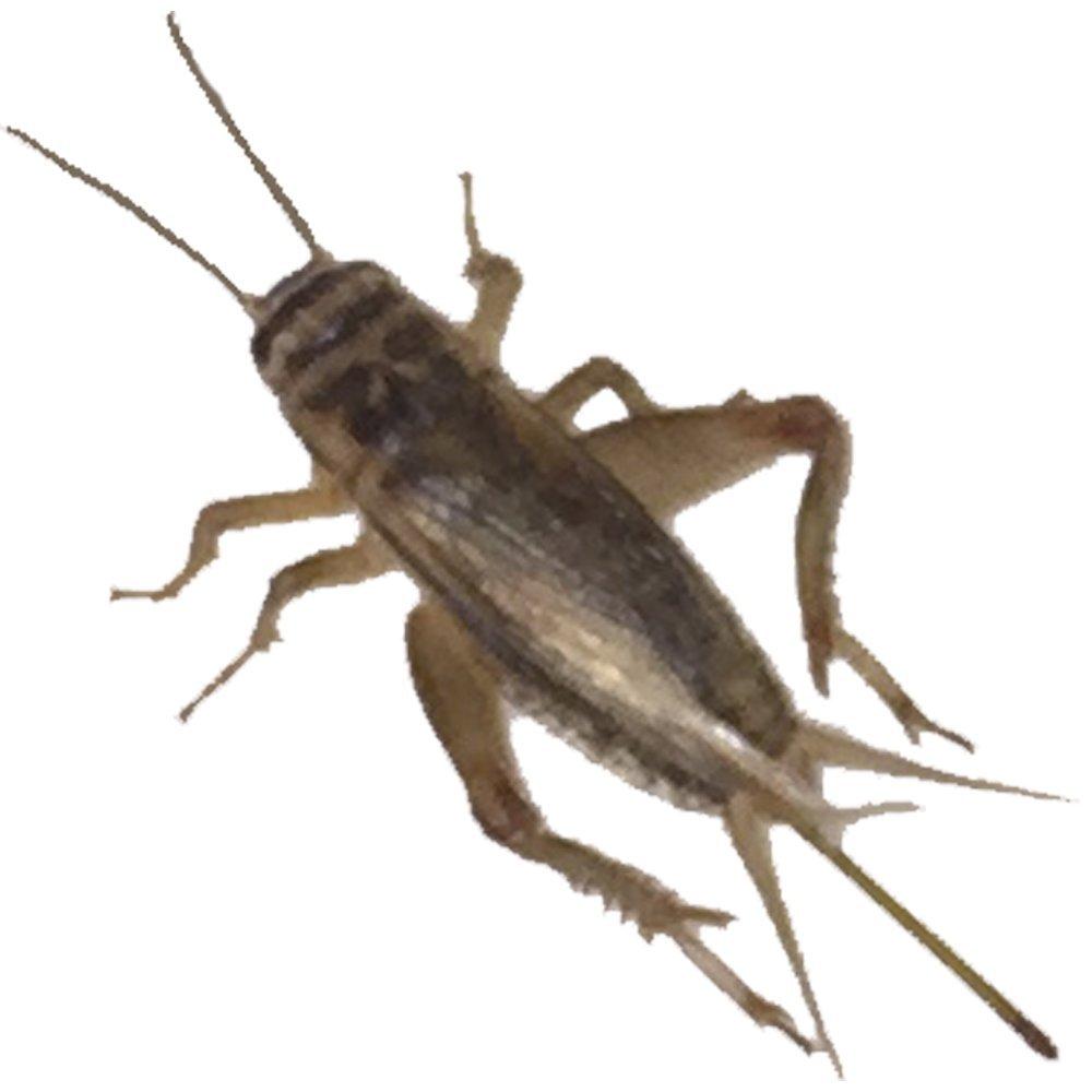 1000 Live Large (1) Crickets (Acheta Domesticus) григорий лепс парус live