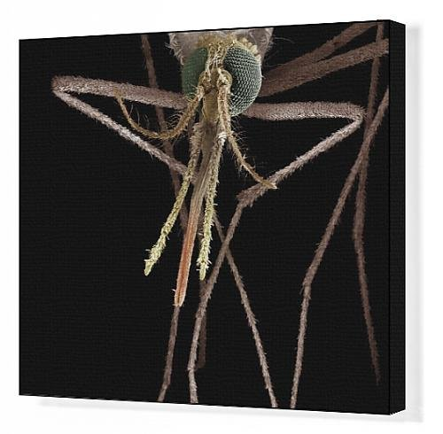 Canvas Print Of Lrds-83 Mosquito, Female From Ardea Wildlife Pets