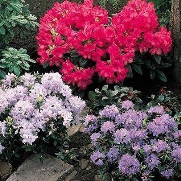 3-pack-mixed-rhododendrons-in-9cm-pots-evergreen-shrubs-flowers-garden-choose-your-own-from-the-list