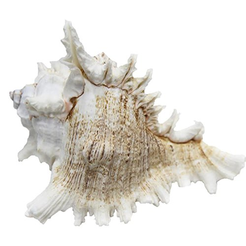 just-contempo-coastal-seashell-decoration-white