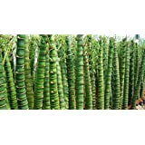 Buddha Belly Bamboo 20 Seeds