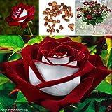 New 15 Pcs/Bag Red & White Osiria Ruby Rose Flower Seeds Home Garden Plant Seeds