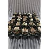 Lithops Succulent (living stone) (10 pack (2 inch live plant))