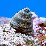 (海水魚 貝 無脊椎)シッタカ貝(バテイラ) Mサイズ コケの掃除(6匹) 本州・四国限定[生体]