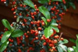 Pyracantha 'Orange glow' Firethorn climber, shrub young plant