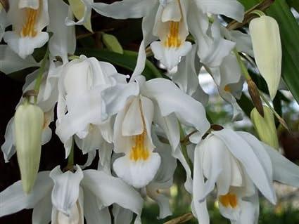 Coelogyne Cristata Orchidee Sorte Coelogyne Cristata