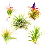 Air Plants - Tillandsia Ionantha - 5 Air Plants at a Great Price! Free Shipping for Air Plant Shop orders over $40