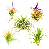 Air Plants - Tillandsia Ionantha - 5 Air Plants at a Great Price!