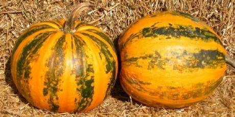 Japanese Striped Kakai Pumpkin 15 Seeds -Delicious - FREE SHIPPING ON ADDITIONAL HIRTS SEEDS - Buy Japanese Striped Kakai Pumpkin 15 Seeds -Delicious - FREE SHIPPING ON ADDITIONAL HIRTS SEEDS - Purchase Japanese Striped Kakai Pumpkin 15 Seeds -Delicious - FREE SHIPPING ON ADDITIONAL HIRTS SEEDS (Hirt's, Home & Garden,Categories,Patio Lawn & Garden,Plants & Planting,Outdoor Plants,Vegetables,Gourds)