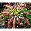 Cape Sundew Plant - Drosera capensis - Carnivorous Gift Box
