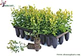 Blueberry Plants Imported from USA/ 2 Plants-(Sharpblue Variety suitable for Hot-Cool Climate)1.5yrs Old.Grows in Container/Lawn/Patio/Garden/Pot.BOOK YOUR PLANTS NOW!! DELIVERY IN MARCH 1ST WEEK (2.00)