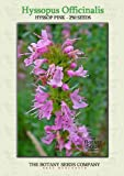 Hyssop Pink (250) Seeds - Hyssopus Officinalis - Herb Seeds