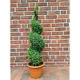 buchsbaum spirale h he 110 cm bonsai buxus formschnitt bestellen. Black Bedroom Furniture Sets. Home Design Ideas