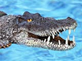 Floating Giant Alligator FLoats in pool or pond